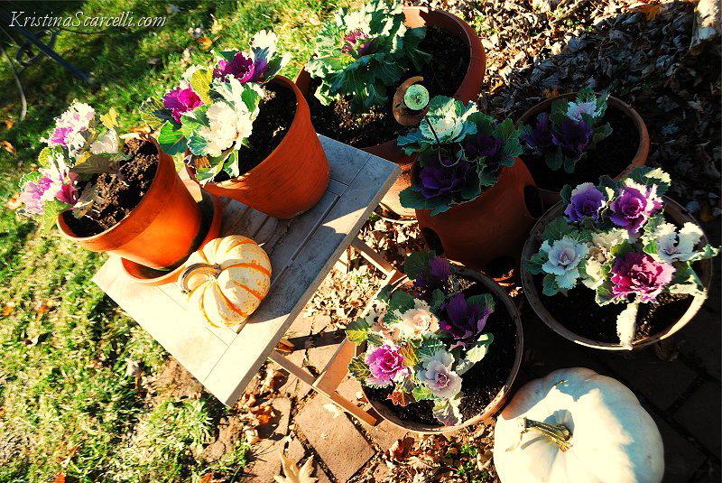 Flowering Cabbage & Kale (2)
