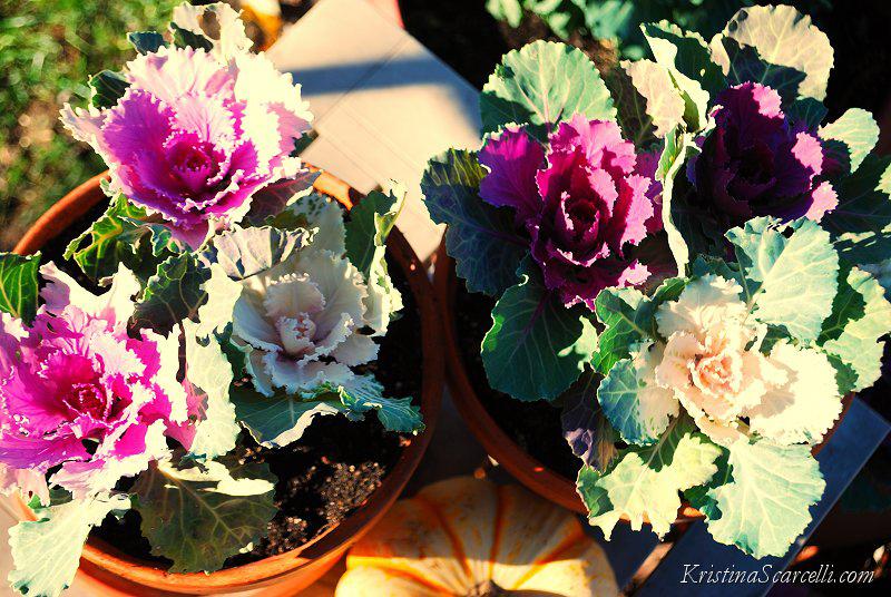 Flowering Cabbage & Kale (3)