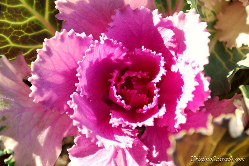 Flowering Cabbage & Kale (4)