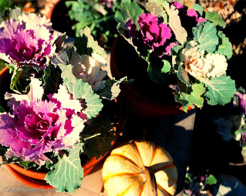 Flowering Cabbage & Kale (5)